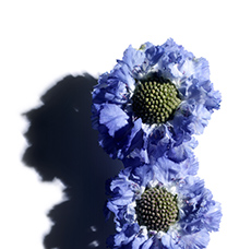 Scabious (Blue Button Flower)