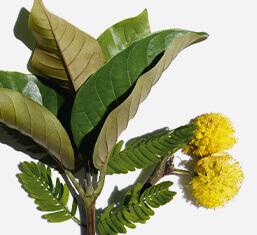 オーガニックハルンガナとスイートアカシアの花
